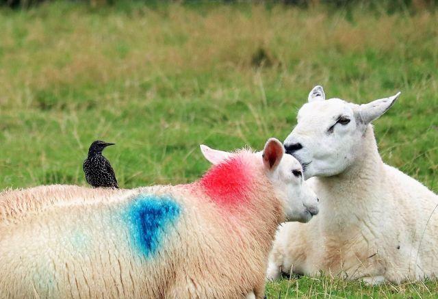 Zwei Schafe mit heller Wolle, auf einem sitzt ein Star.