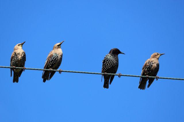 Vier Stare sitzen auf einer Elektroleitung, über ihnen blauer Himmel. Ihr Gefieder ust gemustert dunkel und hell.