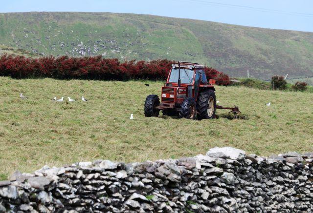 Älterer roter Traktor auf einer Wiese beim Heuwenden. Die Wiese ist umgeben von eine Steinmauer bzw. einer Fuchsienhecke. Möwen suchen nach Beutetieren.