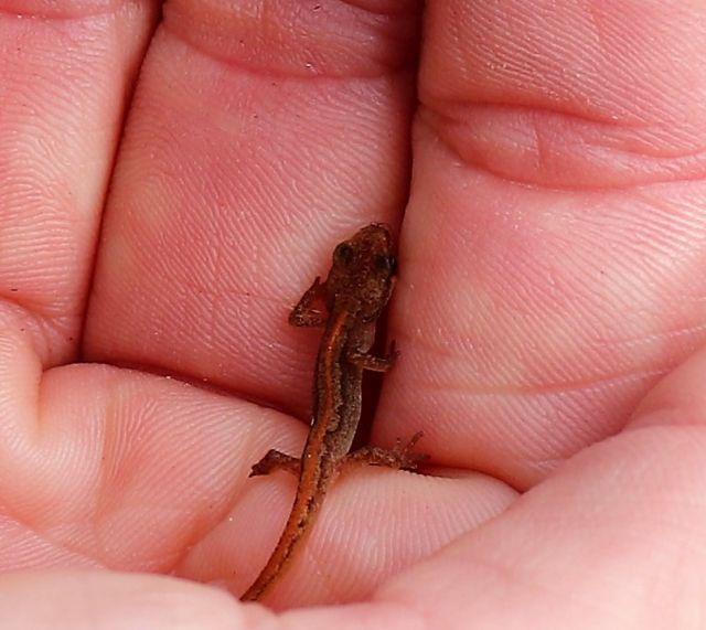 Rötlich-brauner kleiner Bergmolch in einer Hand