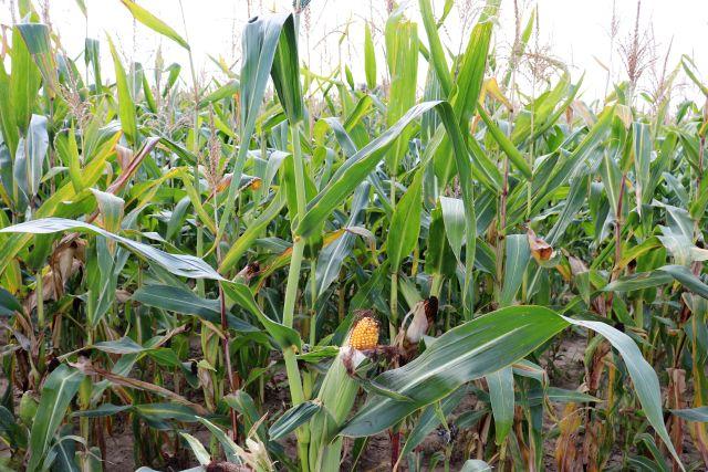 Grüne Maispflanzen kurz vor der Ernte. Ein gelber Maiskolben schaut aus seiner grünen Hülle heraus.