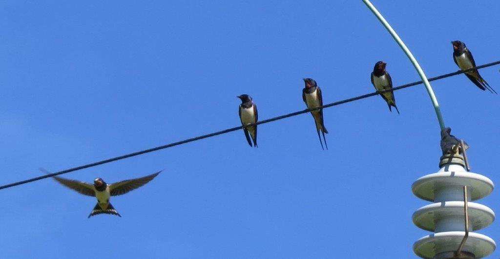 Vier Mehlschwalben auf einer Stromleitung. Eine fünfte Schwalbe im Anflug mit offenen Flügeln.
