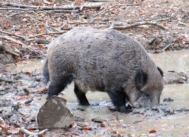 Gräliches Wildschwein in einer Suhle.