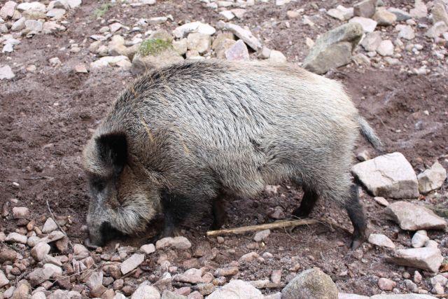 Gräuliches Wildschwein auf einer steinigen Fläche.