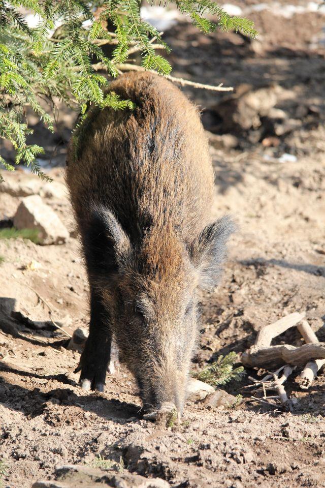 Wildschwein auf bräunlichem Boden.