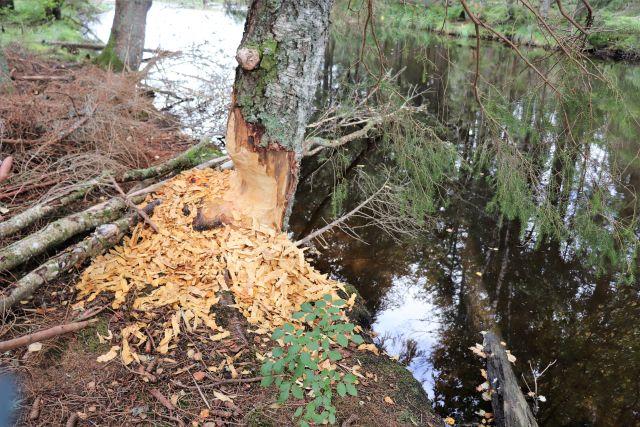 Ein Baum, den ein Biber bearbeitet hat. Davor liegen zahlreiche Holzstückchen.