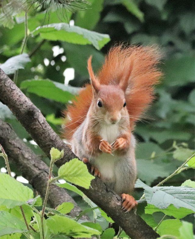 Ein rötlich-braunes Eichhörnchen mit heller Brust sitzt auf einem Kiefernast und hält einen Sonnenblumenkern in den Pfötchen.