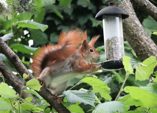 Ein rotbraunes Eichhörnchen holt Sonnenblumenkerne aus einem hängenden Vogelhäuschen.