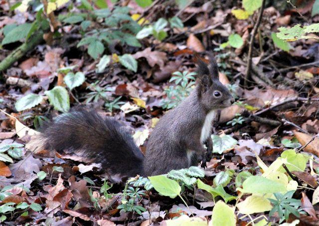 Ein Eichhörnchen mit dunkler Farbe auf Blättern, die im Herbst von den Bäumen gefallen sind.