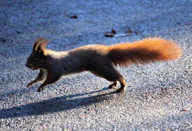 Ein dunkles Eichhörnchen mit einer Haselnuss im Maul saust über den Boden.