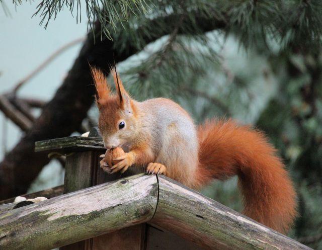 Eichhörnchen auf dem Dachen eines Futterhäuschens it einer Walnuss in den Pfoten.