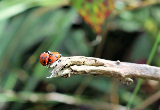 Zwei Marienkäfer auf einem vertrockneten Ast