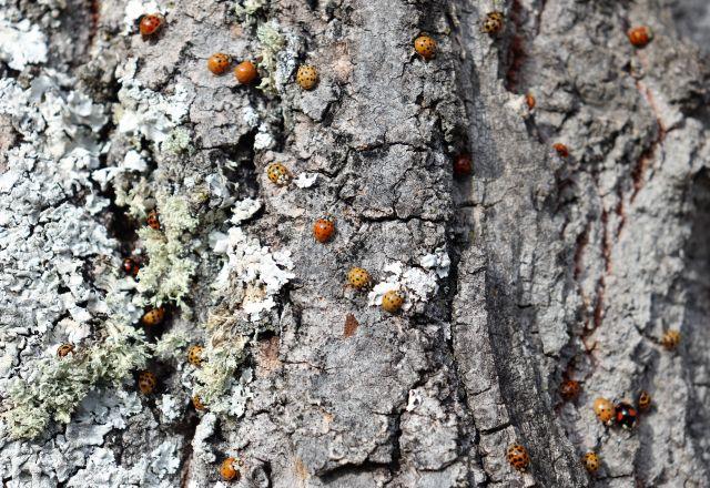 Zahlreiche Marienkäfer mit unterschiedlichen Farben und Punktzahlen.