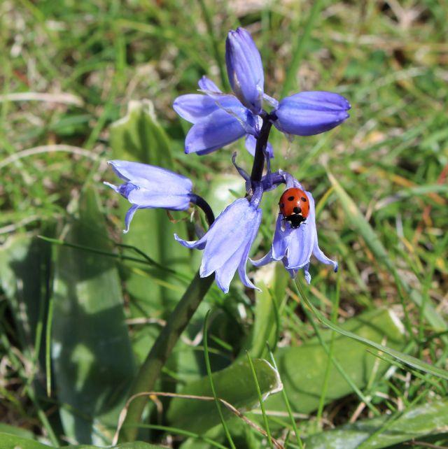 Roter Marienkäfer mit schwarzen Punkten auf einer blauen Blume.