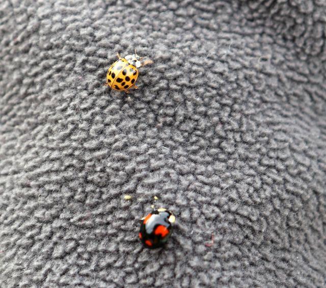 Zwei Marienkäfer auf einem Stoff.