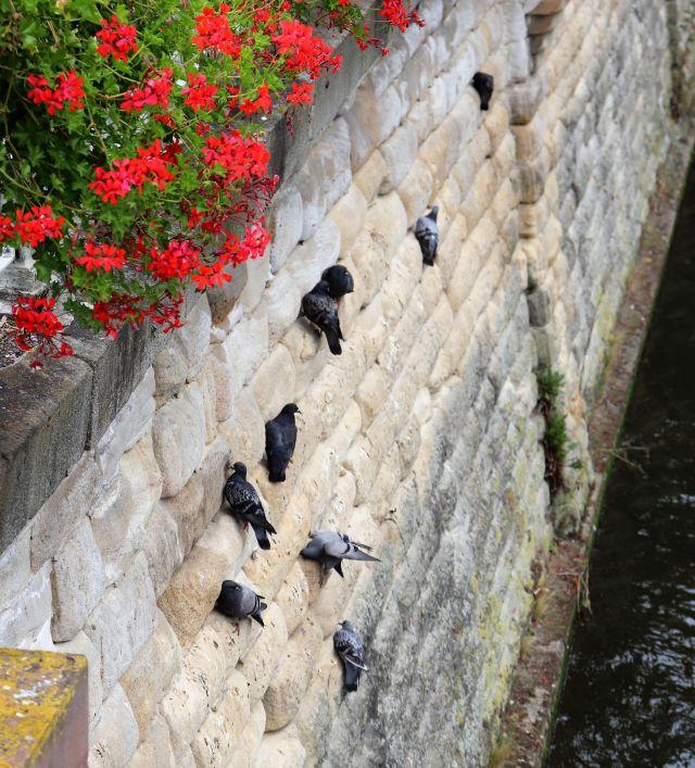 Mehrere graue Stadttauben an einer Wand aus behauenen Natursteinen über einem Nebenarm des Neckars. Darüber Lumen an einem Geländer.