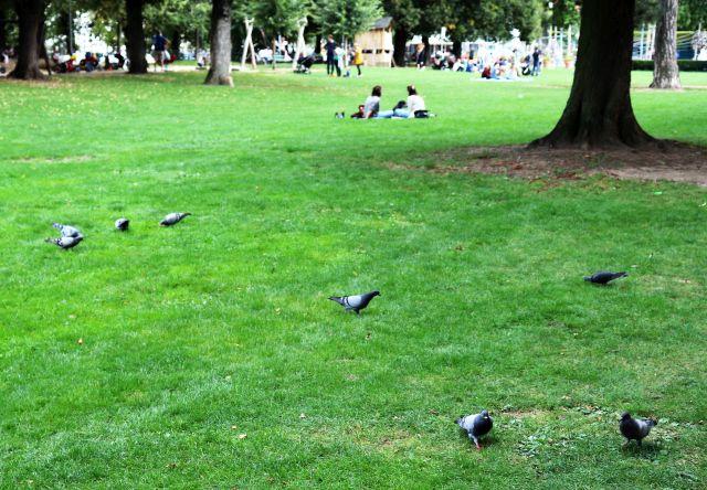 Mehrere graue Stadttauben auf grünem Rasen im Stadtpark.