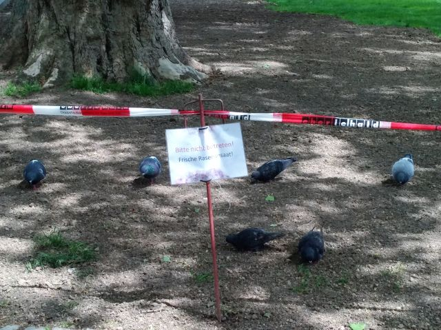 Stadttauben picken Grassamen hinter einer rot-weißen Absperrung und einem Schild, dass das Betreten verboten ist.
