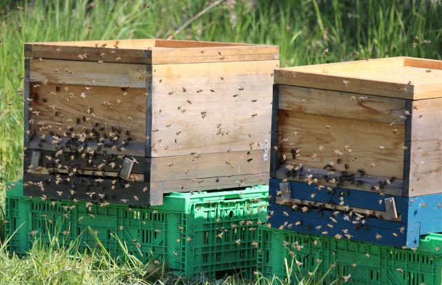 Zwei Bienenstöcke aus Holz stehen auf grünen Plastikkörben. An den Einfluglöchern sind zahlreiche Bienen zu sehen.