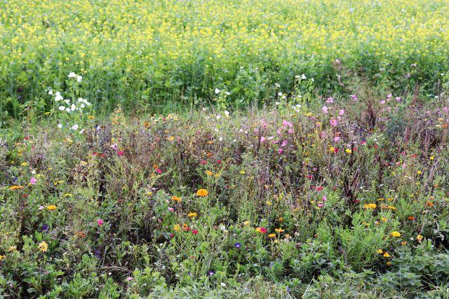 Ein schmaler Blühstreifen mit unterschiedlichen Pflanzen, dahinter ein Rapsfeld.