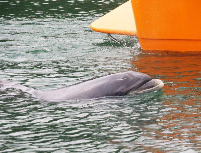 Ein Großer Tümmler . ein Delfin - kommt mit dem Vorderkörper aus dem Wasser heraus. Daneben ein rotes Boot teilweise sichtbar.