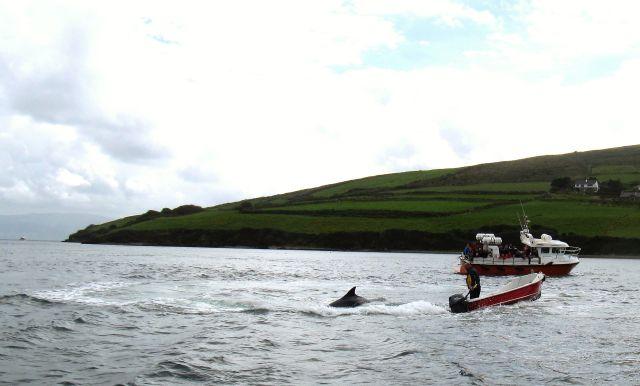 Fungie schwimmt am Ausgang des Hafens zur Dingle Bay. Ein kleines und ein großes Boot sind in der Nähe.