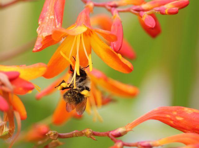 Eine Hummel mit Höschen aus Pollen an einer rot-gelben Blüte (Montbretie).