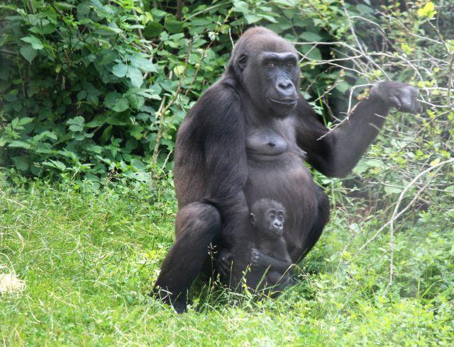 Gorilla-Weibchen mit einem Jungtier im Zoo.