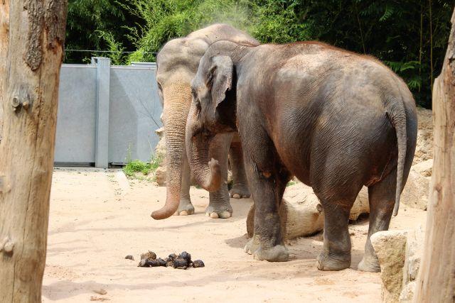 Zwei alte Elefantendamen in einem Gehege. Sie haben sich Sand auf den Rücken geworfen.