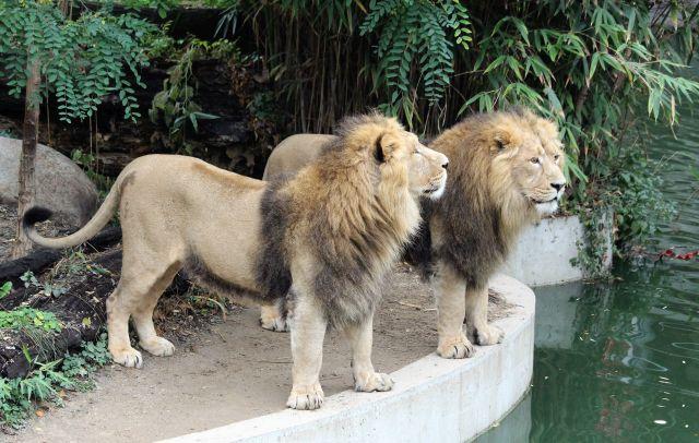 Zwei Löwen stehen an einem Wassergraben und schauen leicht nach links oben.