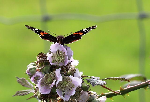 Schmetterlinge lassen sich immer seltener blicken, denn die intensive Landwirtschaft, aber auch die Verstädterung rauben ihnen den Lebensraum. Wo sind die Hecken und die Blüten geblieben? Im Grunde brauchen wir eine Agrarrevolution! (Bild: Ulsamer)