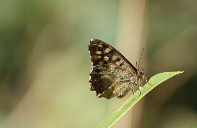 Bräunlich gemusterter Schmetterlin auf einer grünen Pflanze.