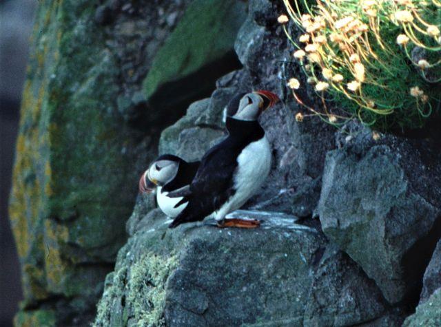 Zwei Papageitaucher auf einer Klippe. Gedrungener Körperbau, Schwarzer Rücken, weißer Bach, farbiger Schnabel.