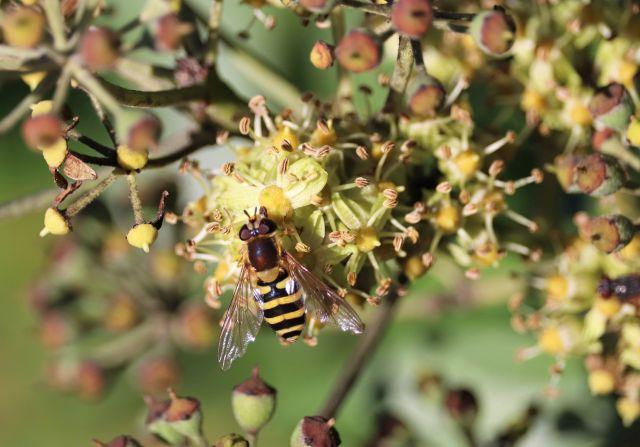 Schwebfliege, die mit ihren gelb-scwarzen Streifen einer Biene gleicht auf einer Efeublüte.