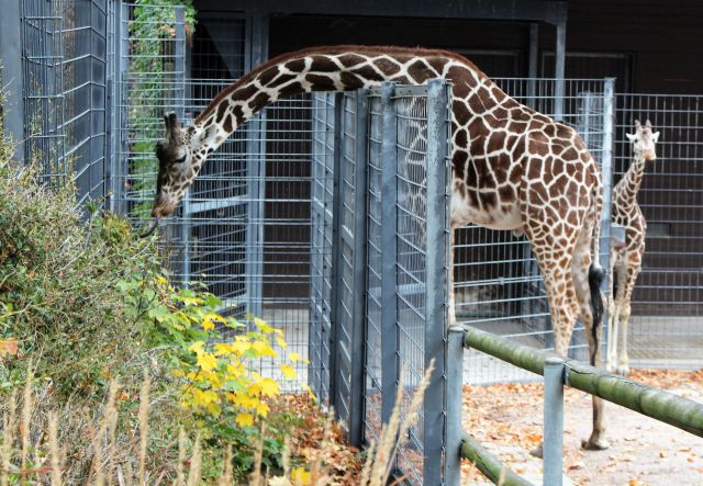 Eine erwachsene Giraffe mit dem Hals über den Zaun gebogen frisst an Pflanzen. Im Hintergrund ihr Junges.