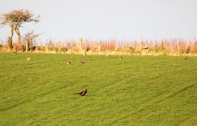Fasane auf einer Weide: Im Vordergrund ein farbenprächtiger Hahn, im Hintergrund mehrere bräunliche Hennen. Dahinter eine Hecke.