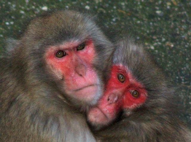 Zwei Affen mit rotem Gesicht und eng aneinander geschmiegten Köpfen.