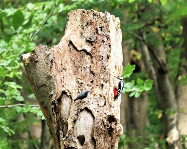 An einem noch stehenden, aber bereits abgestorbenen Baum sitzen ein Buntspecht und ein deutlich kleinerer Kleiber.