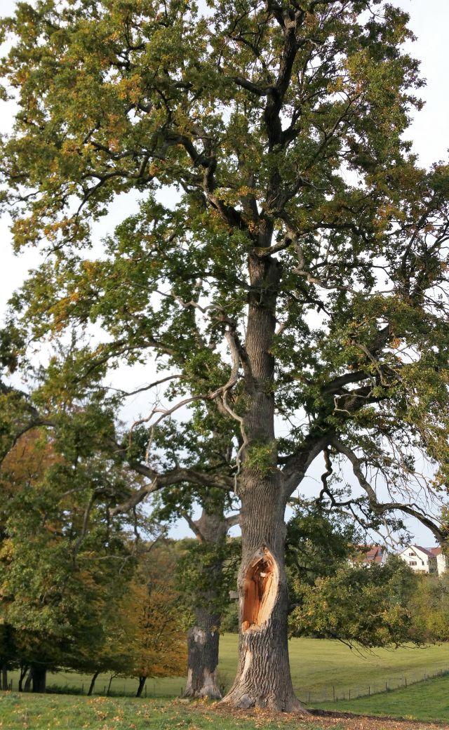 Eine alte Eiche mit zahlreichen grünen Blättern. Im unteren Stambereich ist ein großer Ast herausgebrochen, das sieht man am hellen aufgerissenen Holz.