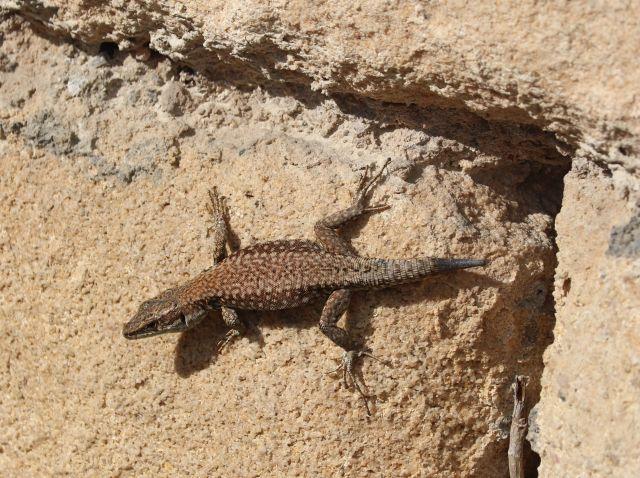 Braune Eidechse an einer Steinmauer aus großen Quadern. Der Schwanz ist sehr kurz, wie ein Stummel.