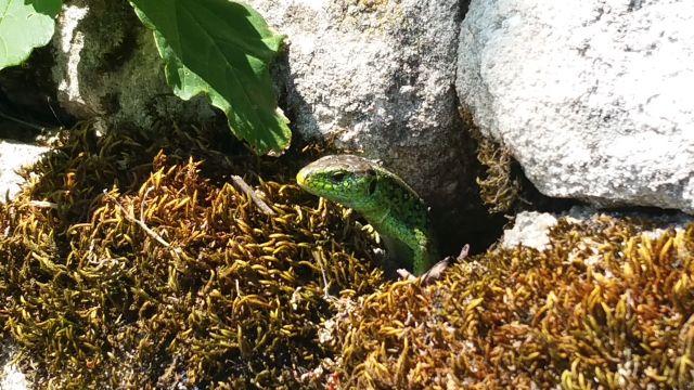 Grün-braune Eidechse schaut mit dem Vorderkörper aus einer Mauerspalte. Vor ihr vertrocknetes Moos.