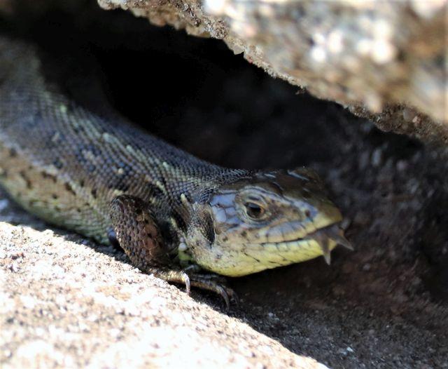 Eidechse it offenem Maul, die Zunge harausgestreckt. Sie ist in den Spalten einer Trockensteinmauer auf der Jagd nach Insekten.