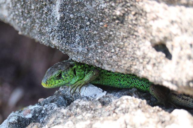 Grüne Eidechse zwischen den Steinen einer Mauer.