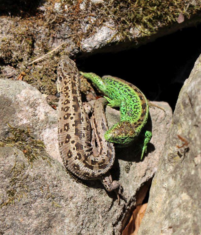Eine grüne und eine braune Zauneidechse nahe beieinander auf einem Vorsprung in einer Trockensteinmauer.