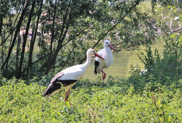 Zwei Störche - weiß-schwarz mit rotem Schnabel - an einem kleinen See, an dessen Rand Büsche wachsen.