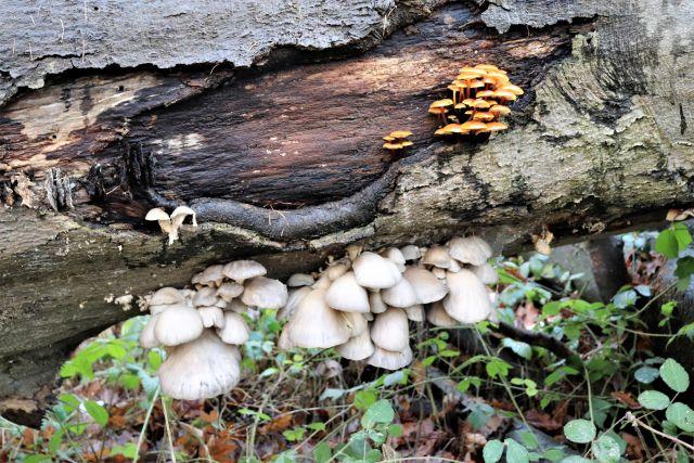 Verschiedene Pilze, braun bzw. fast weiß, an einem vermodernden Baumstamm.