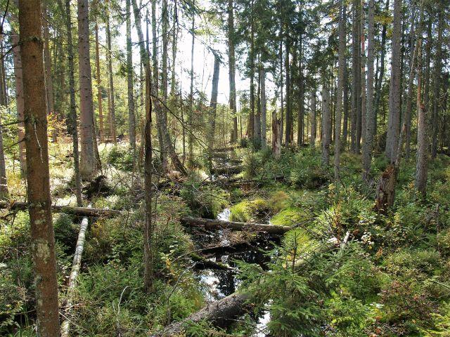Über einem kleinen Bach liegen kleine umgestürzte Bäume mitten im Wald.