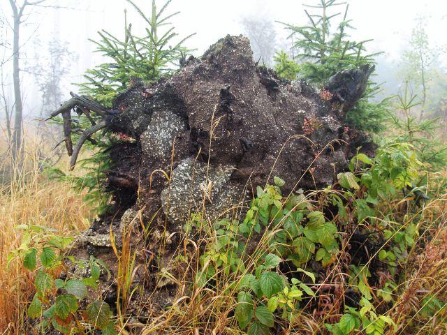 Wurzelteller eines großen Baums mit hellen eingelagerten Steinen. Dahinter wachsen Fichten hoch.