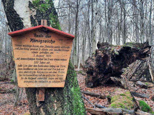 Reste einer Eiche, die vor über 100 Jahren vom Blitz gefällt wurde. Daneben eine Informationstafel, die dies erklärt.