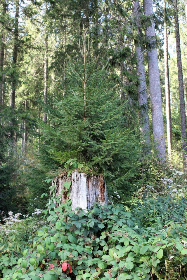 Ein Baumstumpf, direkt hinter im wachsen junge Fichten auf.